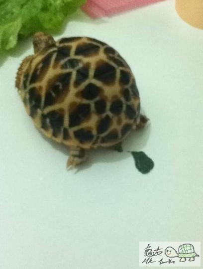 龟龟误食人工草皮